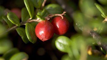 merisorul, argust cu merisoare, fructe rosii