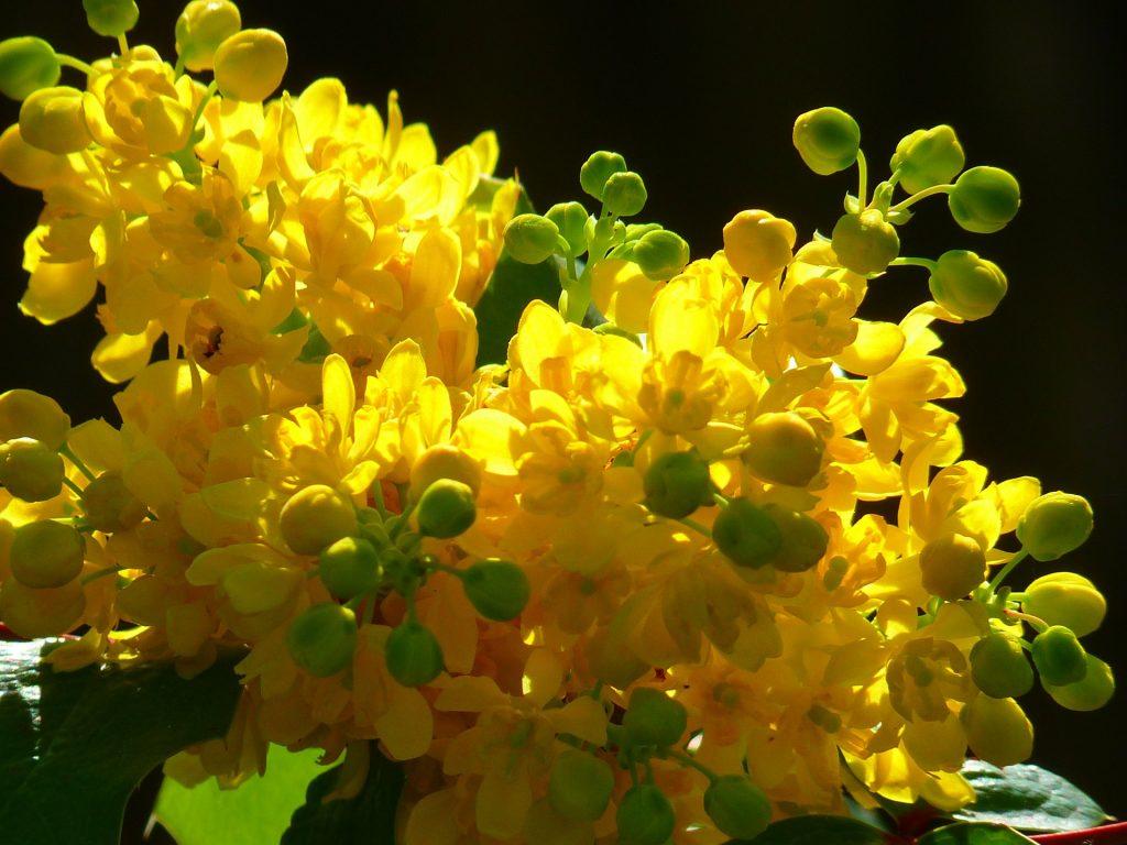 arbuști cu flori