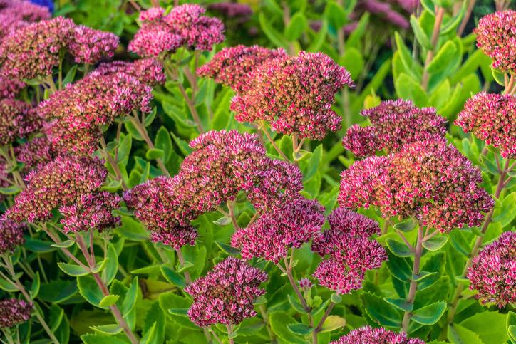 iarba grasa plante perene