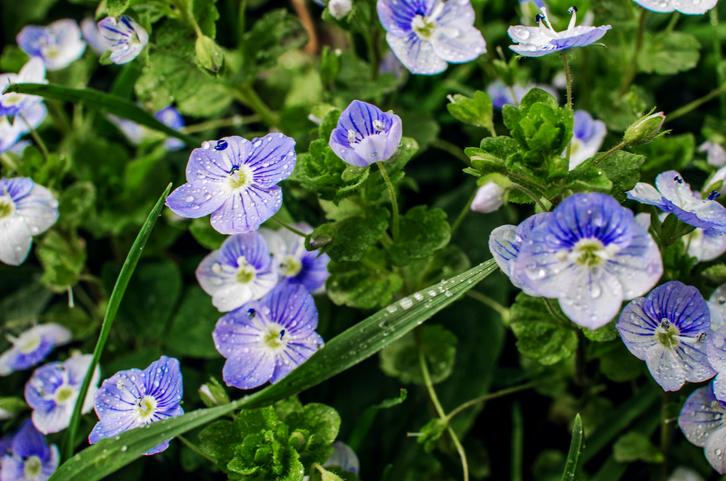 veronica albastra plante perene