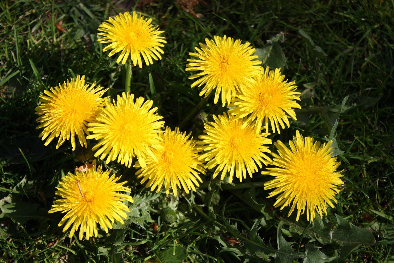 papadie floare