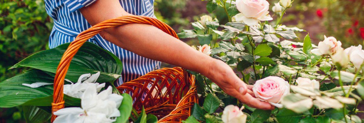5 secrete pentru trandafiri spectaculoși toată vara