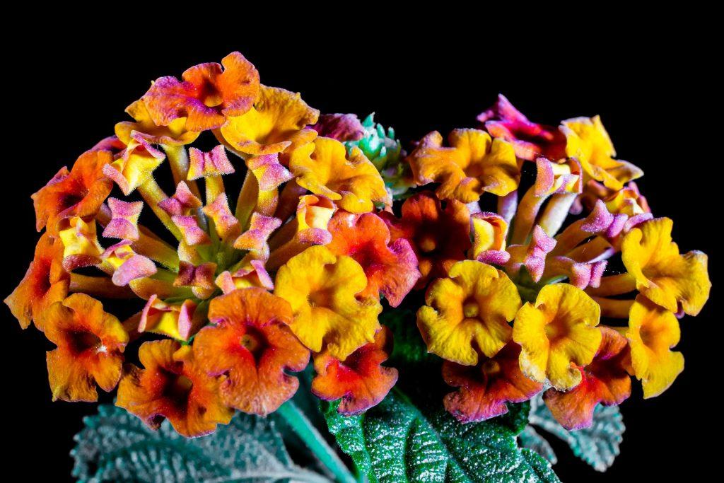 Floarea cameleon