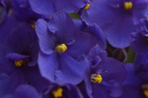 violete de parma