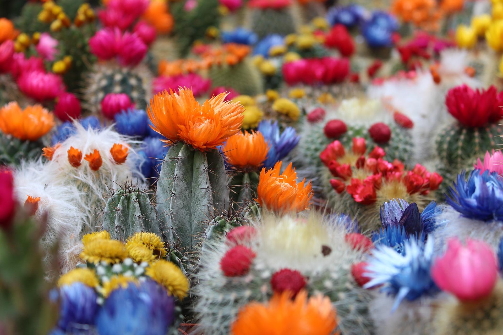 Beneficiile Cactus pentru a pierde în greutate; Fac diete dietetice pentru a slăbi și a slăbi