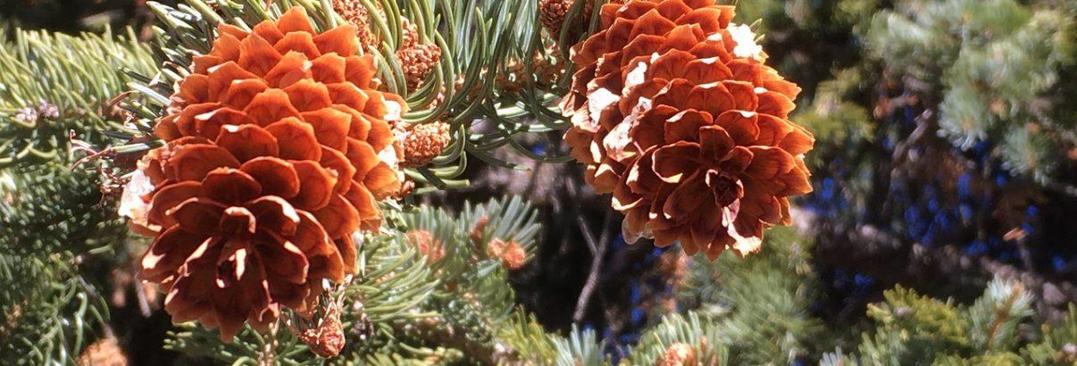 Plantați un brad în grădină,  va fi bucuria fiecărui Crăciun!