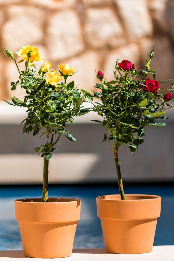 Trandafiri in ghiveci. O bucurie pentru toata toamna si toata iarna in casa ta
