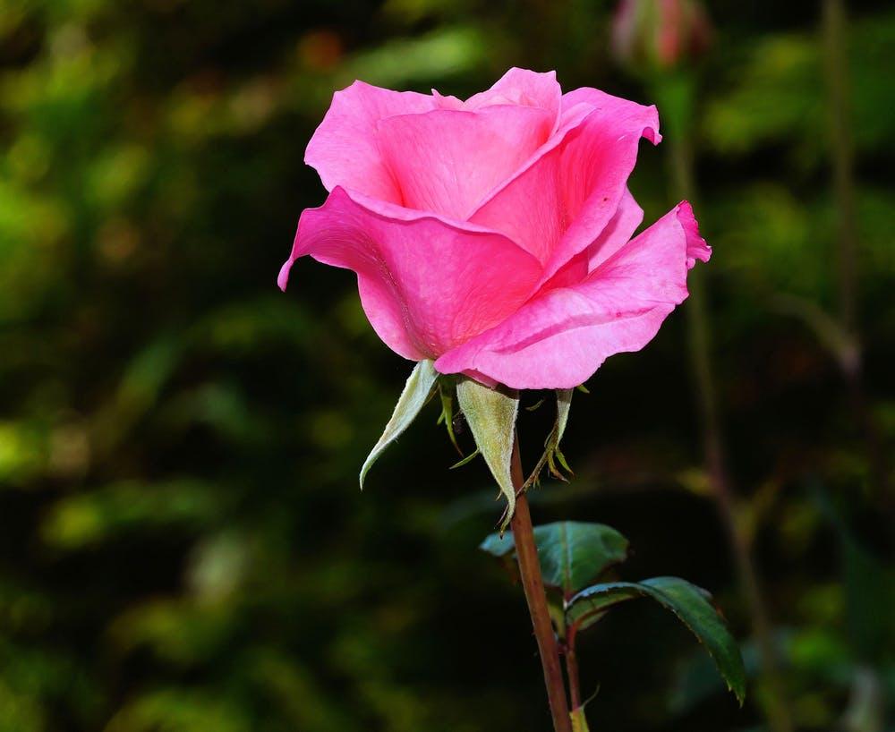 Trandafiri pentru gradina. Cele mai bune soiuri