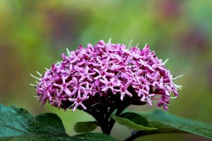 clerodendron roz