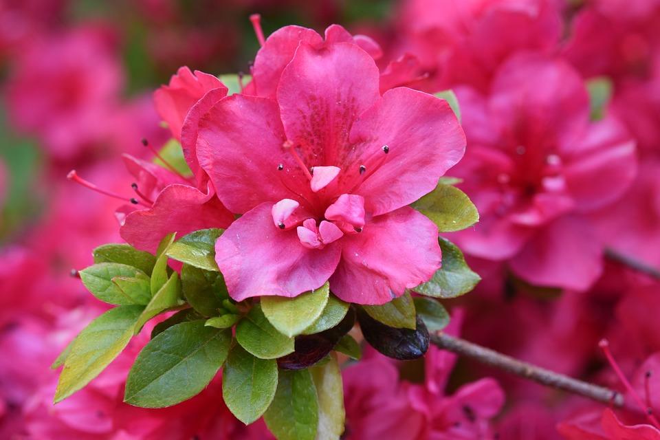 floare roz
