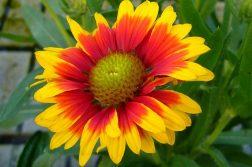 floare