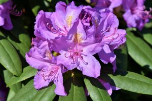 floare mov