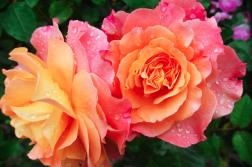 trandafirul