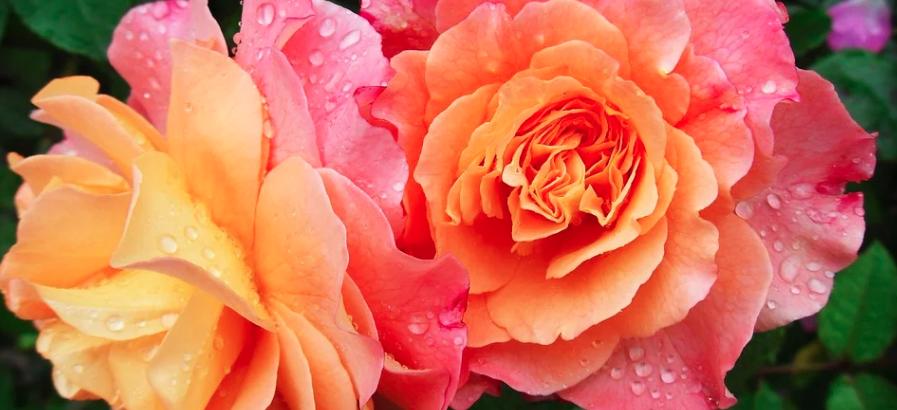 Trandafirul, cum se cultivă și înmulțește