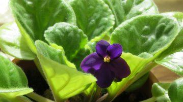 inmultirea viletelor d eparma, violeta africana, violete, plante de apartament