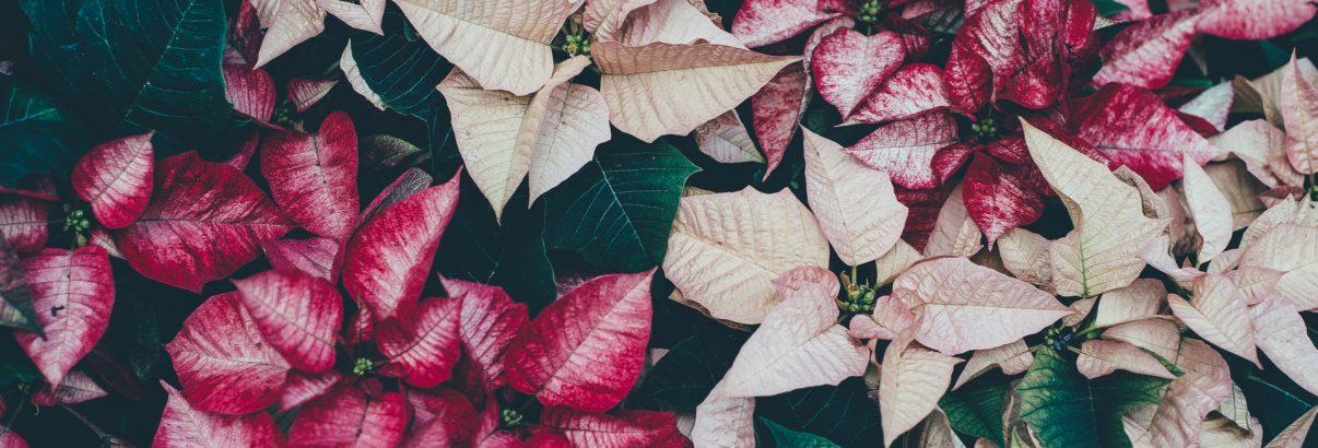 Poinsettia – reguli de aur pentru a-i prelungi viață