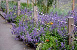 iarba matei, plante de gradina, gradina cu flori albastre, pisici, plante spontane, flori