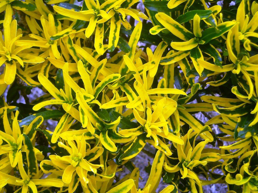 Croton, una dintre cele mai decorative plante de apartament