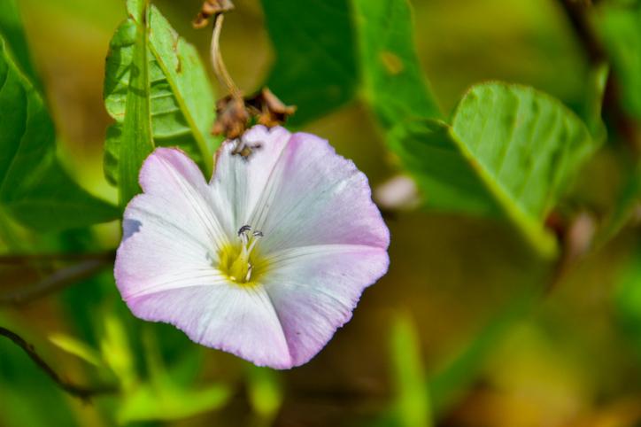 Calystegia flori colorate
