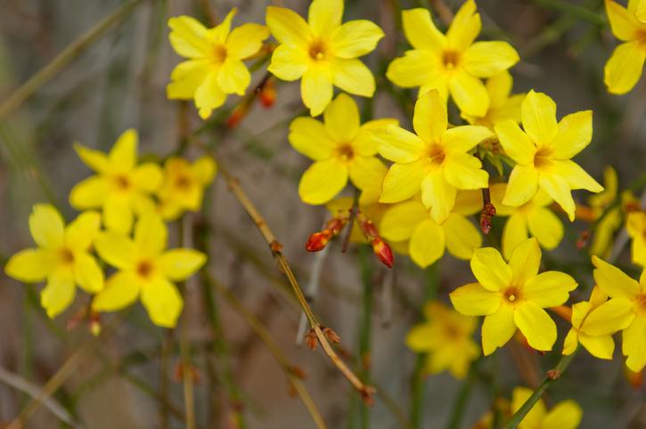 Jasminum nudiflorum flori colorate