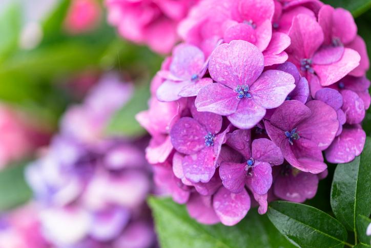 hortensia flori colorate