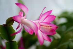 floare roz, Cactusul de Craciun