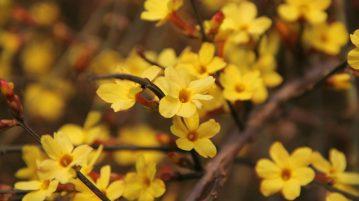 iasomia d eiarna, flori galbene
