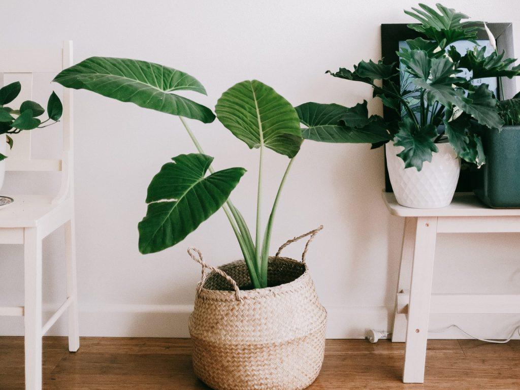 ingrijirea plantelor de interior primavara
